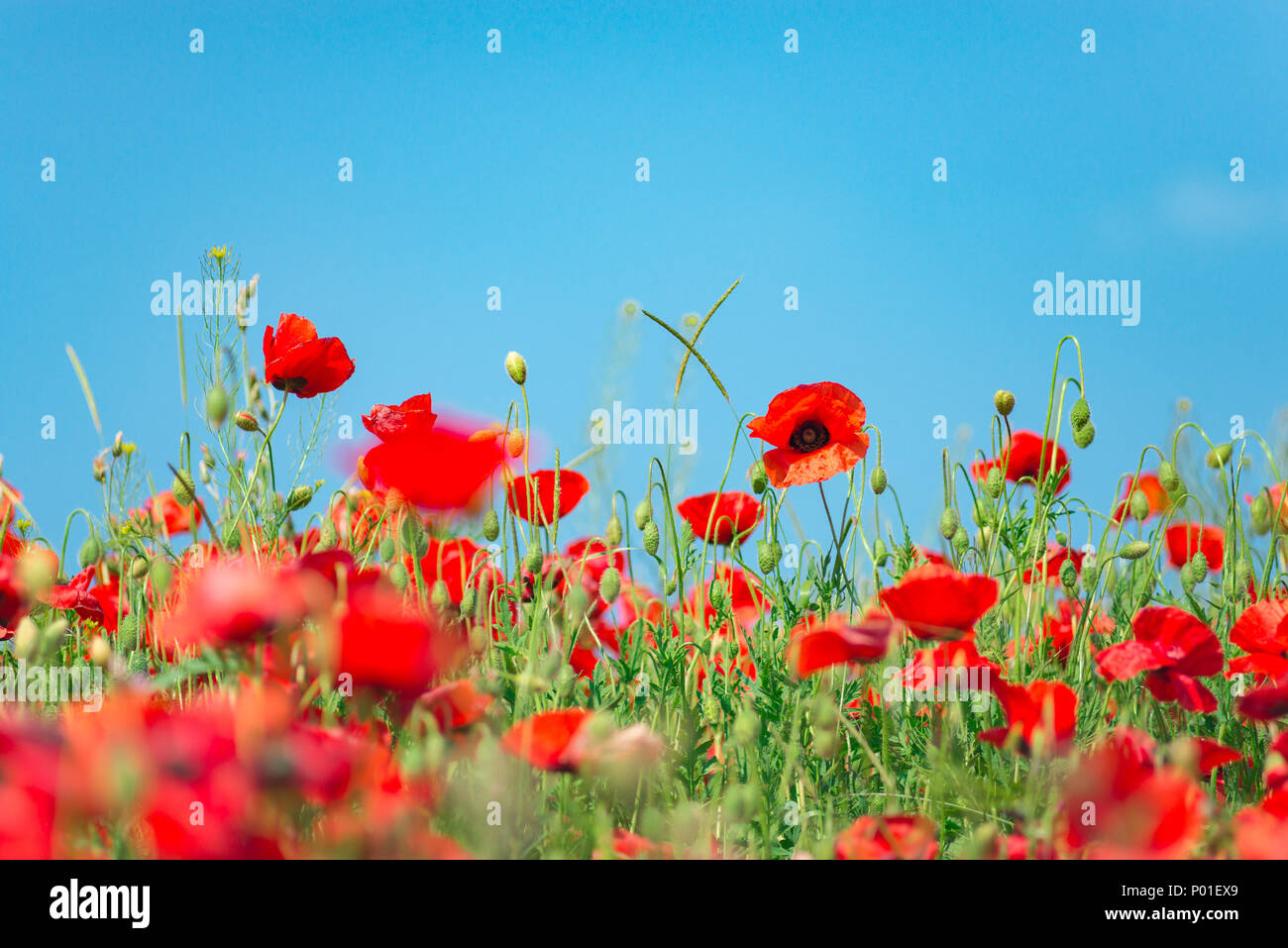 Remembrance day, Anzac Day, serenity. Opium poppy, botanical plant, ecology. Poppy flower field, harvesting. Summer and spring, landscape, poppy seed  - Stock Image
