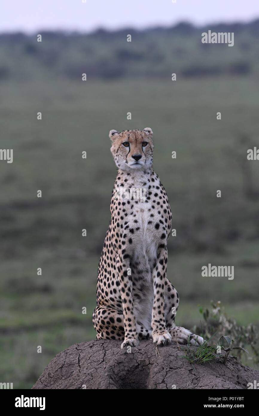 Lone cheetah sitting on the green Maasai Mara savannah looking for prey. Picture taken early morning, Olare Motorogi Conservancy. Acinonyx jubatus - Stock Image