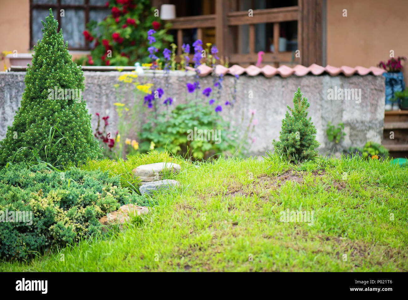 Modern garden with green grass and spruces in summer - Stock Image