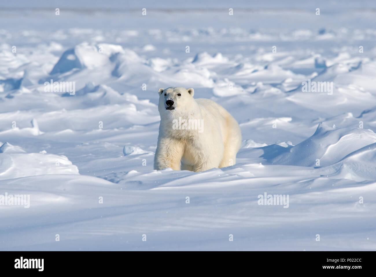 Polar Bear (Ursus maritimus, synonym Thalarctos maritimus), Nunavut Territory, Canada - Stock Image