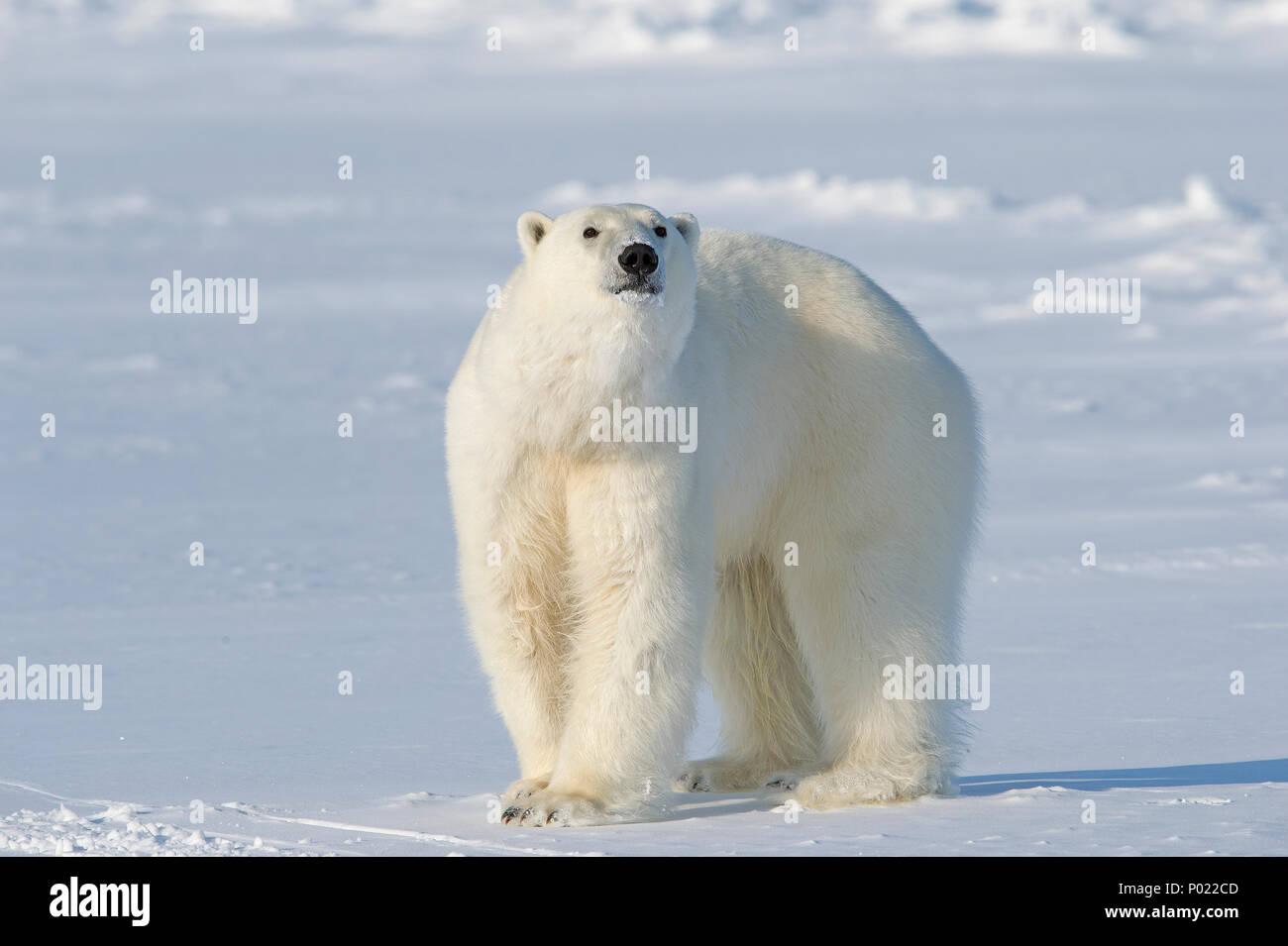 Polar Bear (Ursus maritimus, synonym Thalarctos maritimus), Nunavut Territory, Canada Stock Photo