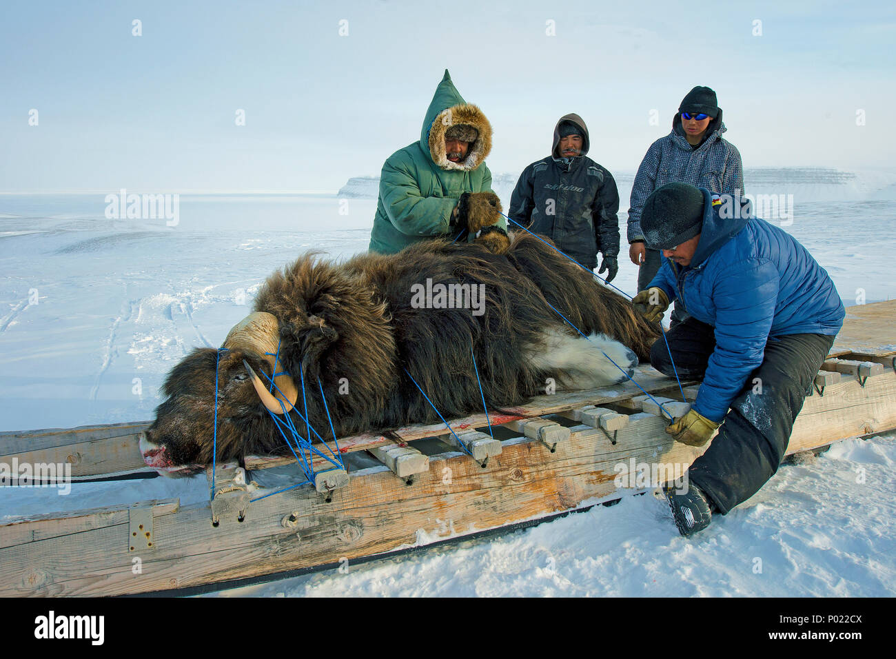 Huntsman transport a shot Muskox (Ovibus moschatus) on a sledge, Nunavut teritorry, Canada - Stock Image