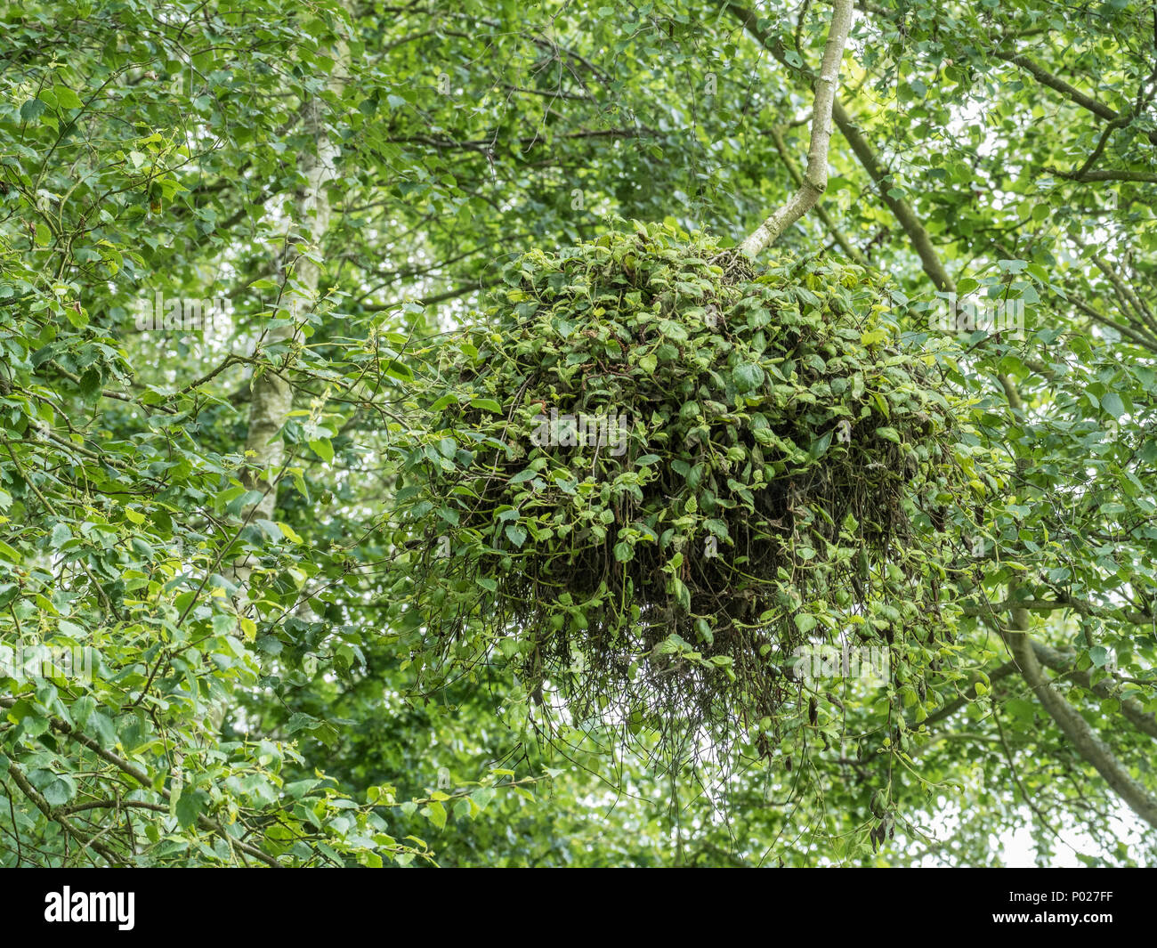 A large witches broom growing on a silver birch tree - Stock Image