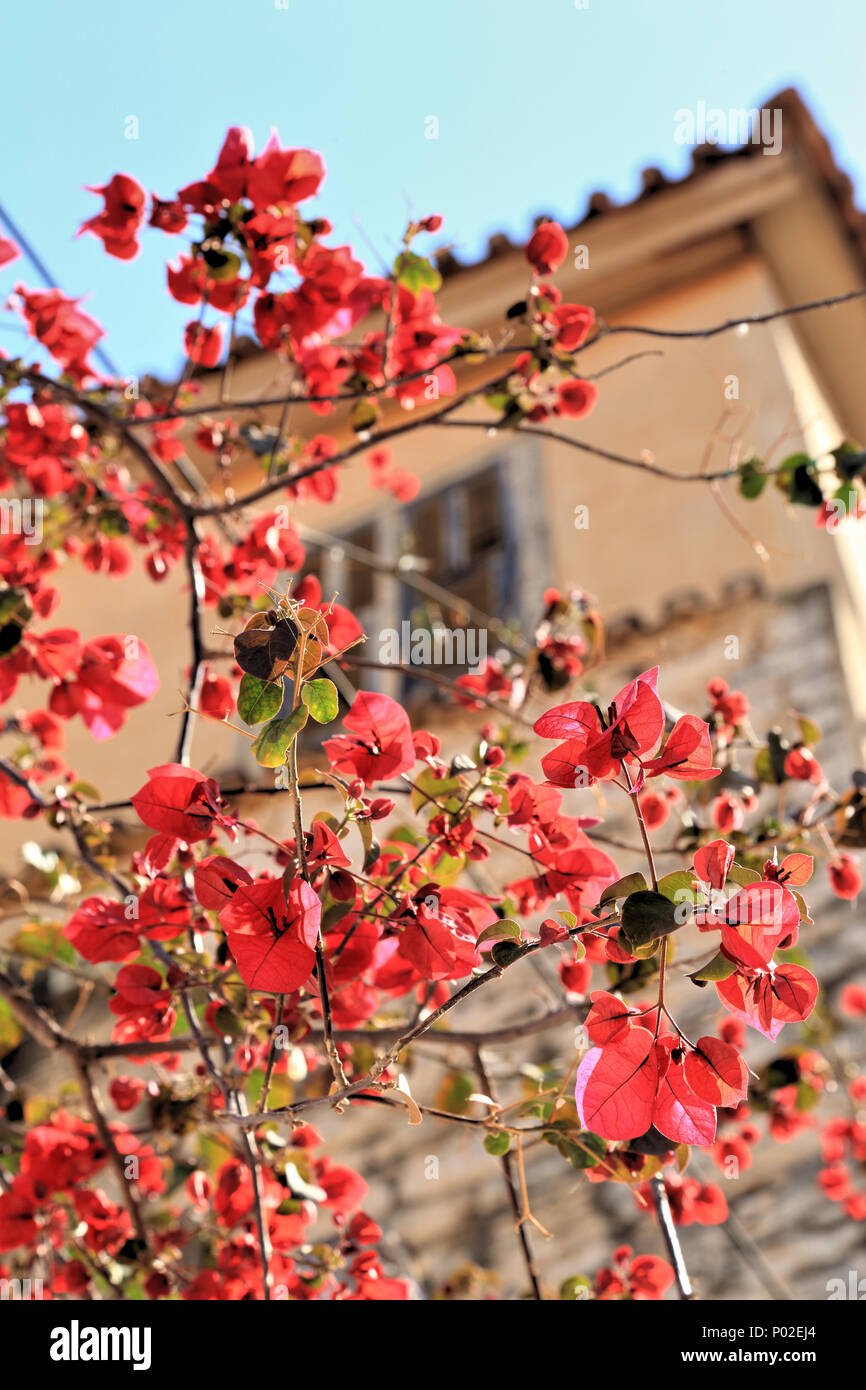 Red bougainvillea spectabilis flowers at old town house in Nafplio, Greece - Stock Image