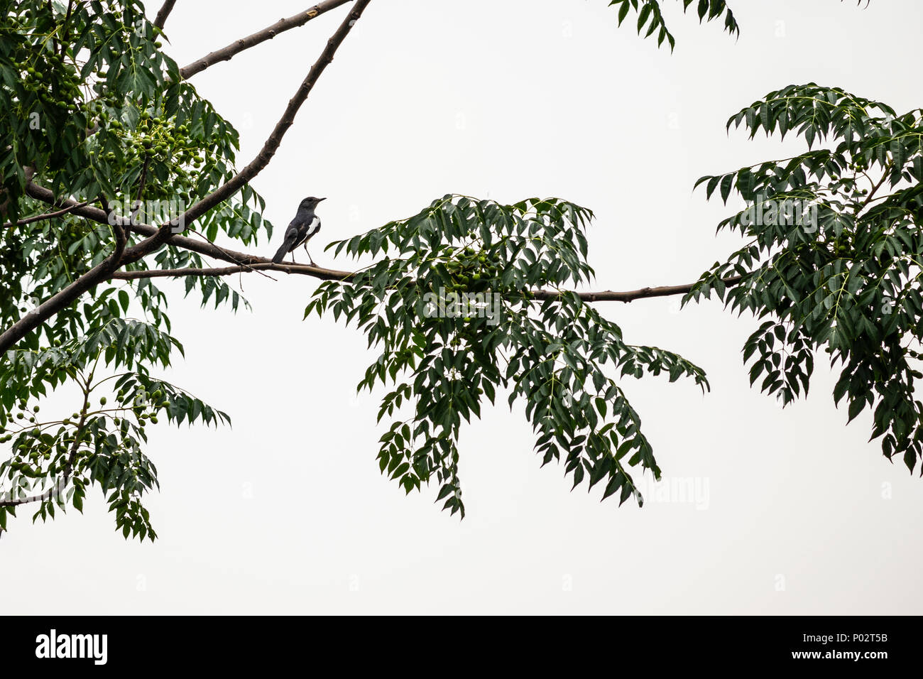 Indian Magpie Robin on a tree branch outside my house in Jalandhar, Punjab. - Stock Image