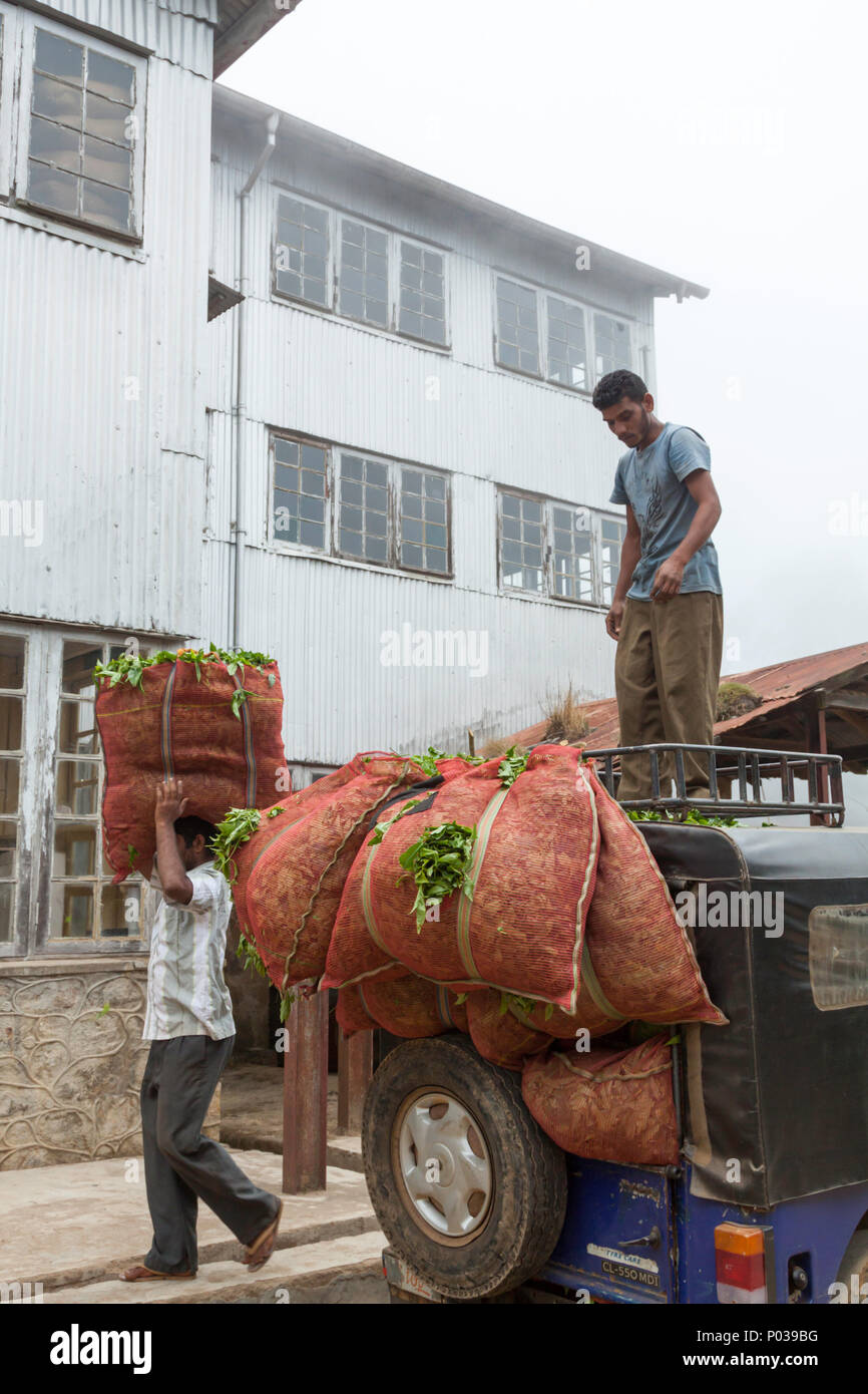Two workers at the Kolukkumalai tea factory unloading tea in sacks from as Jeep. The factory is high in the mountains and there is often mist. - Stock Image