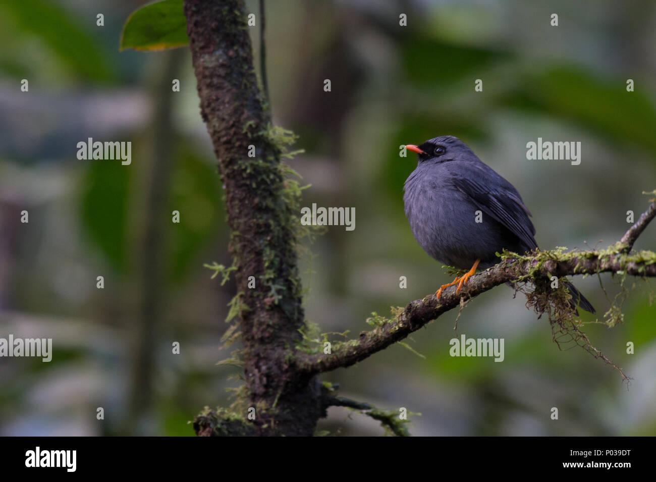 Black-faced Solitaire, Myadestes melanops,  Turdidae, Monteverde Cloud Forest Reserve, Costa Rica - Stock Image