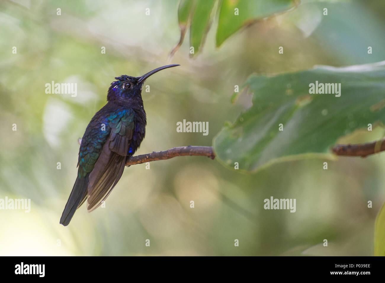 Violet sabrewing, Campylopterus hemileucurus, Trochilidae, Monteverde Cloud Forest Reserve, Costa Rica, hummingbird Stock Photo