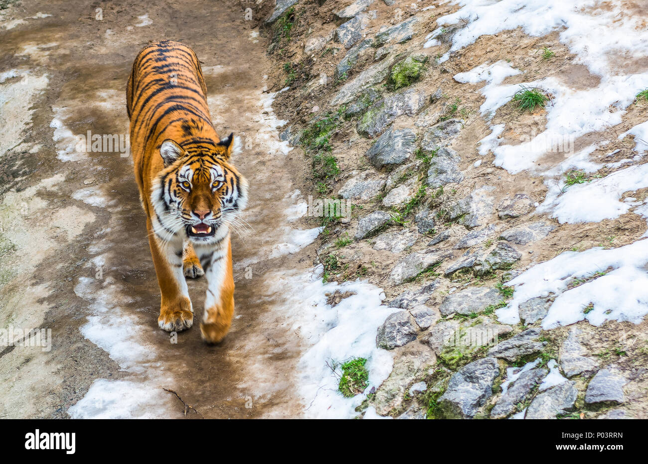 The Siberian tiger, also called the Amur tiger, walks around the aviary on a winter day. - Stock Image