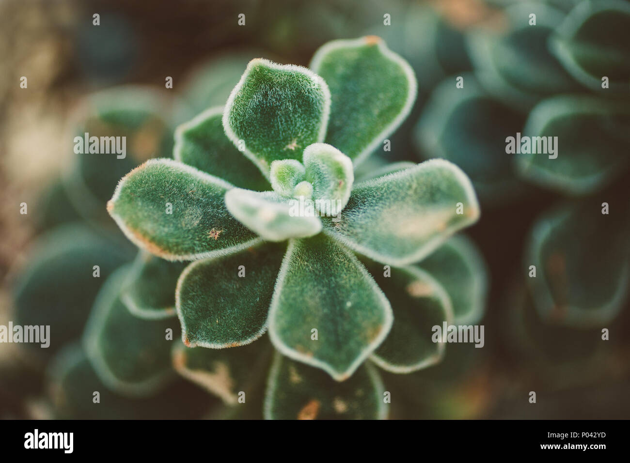 echeveria pulvinata macro close up of budding fuzzy succulent plant in muted colors - Stock Image
