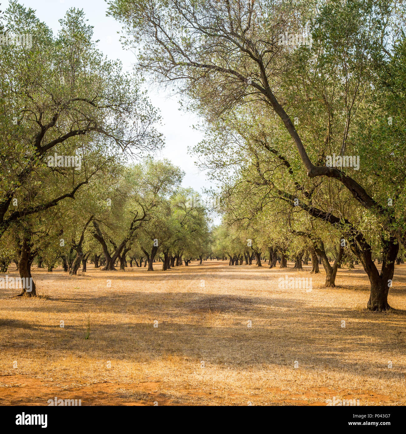 Italy, Puglia region, south of the country. Traditional plantation ...