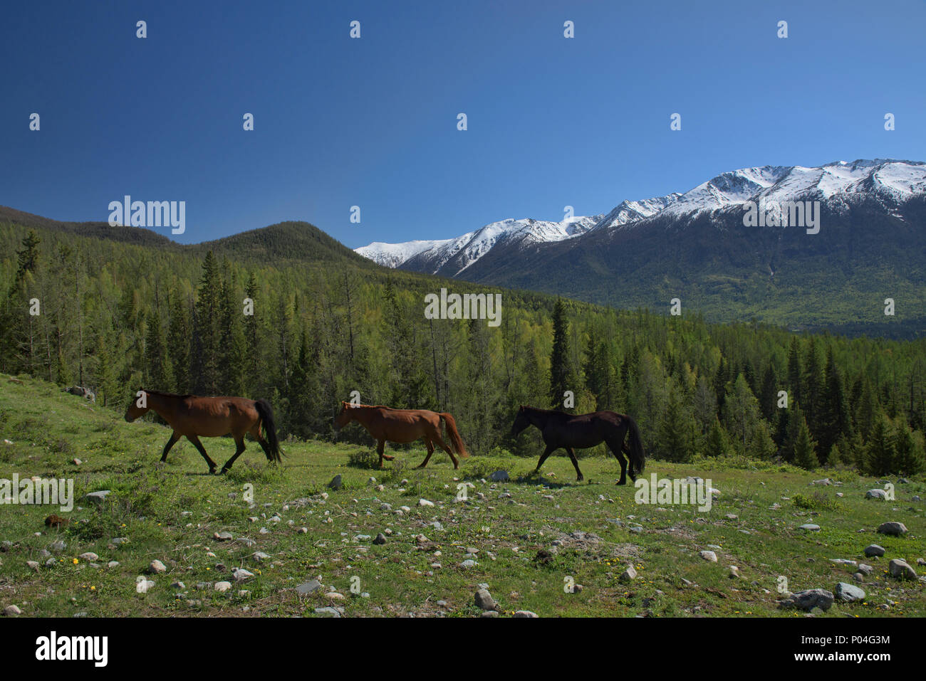Kazakh horses at Kanas Lake National Park, Xinjiang, China - Stock Image