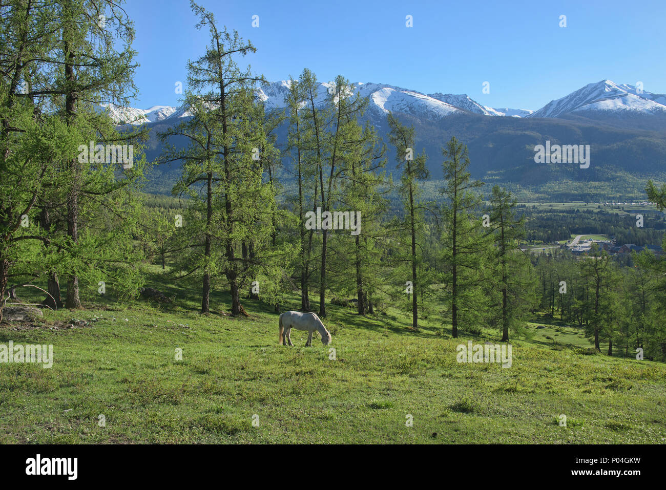 Kazakh white horse at Kanas Lake National Park, Xinjiang, China - Stock Image