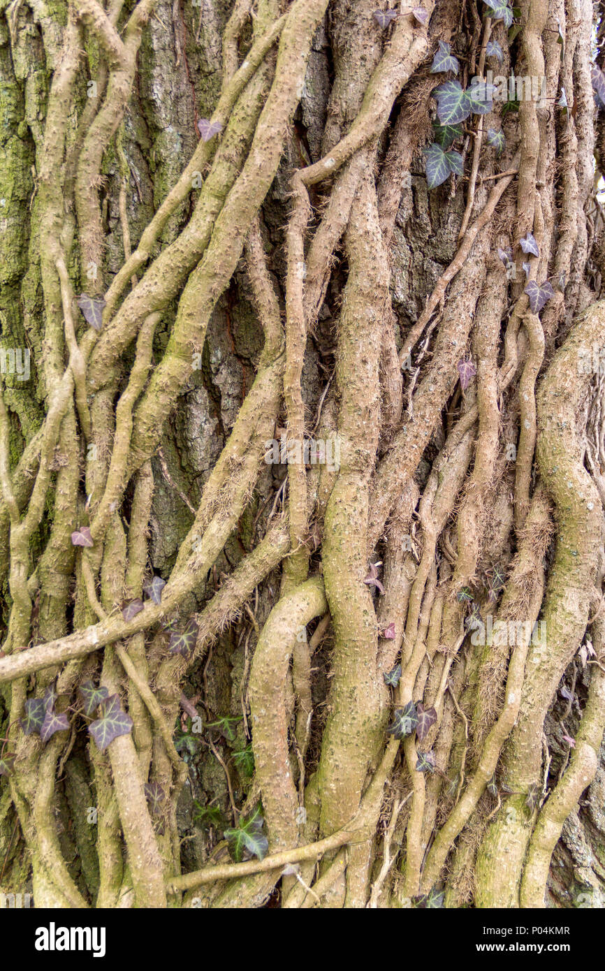 lots of big ivy rootlets climbing on a tree trunk - Stock Image