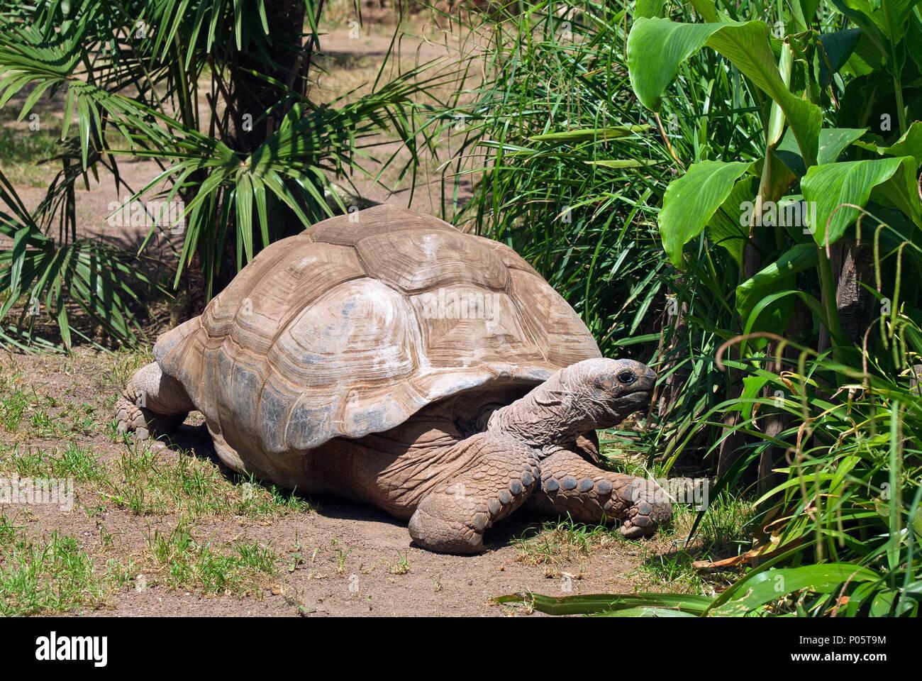 Aldabra giant tortoise (Aldabrachelys gigantea), Bioparco, Rome, Lazio, Italy - Stock Image