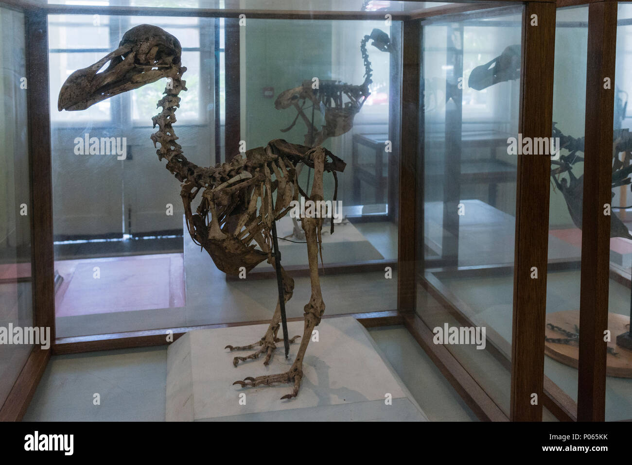 Skeletons of dodos, extinct flightless birds, in the Natural History Museum, Port Louis, Mauritius - Stock Image