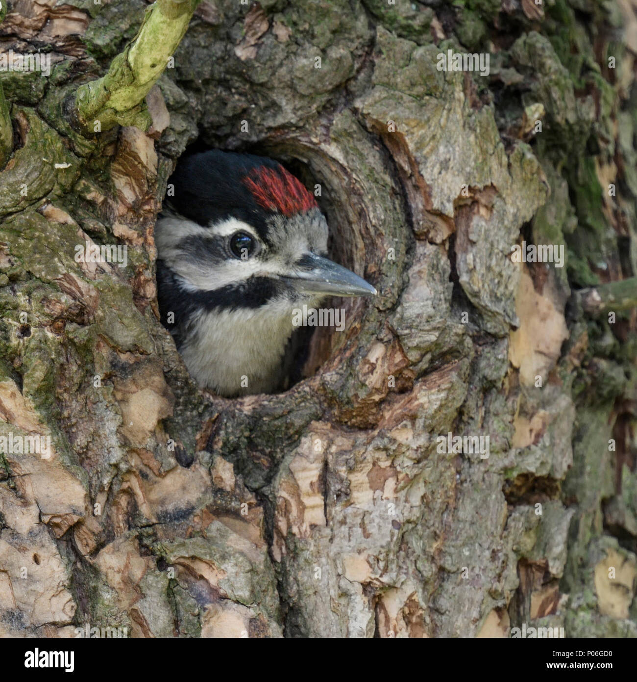 Greater / Great Spotted Woodpecker / Buntspecht ( Dendrocopos major ), juvenile, chick, looking out of nest hole, Europe. - Stock Image
