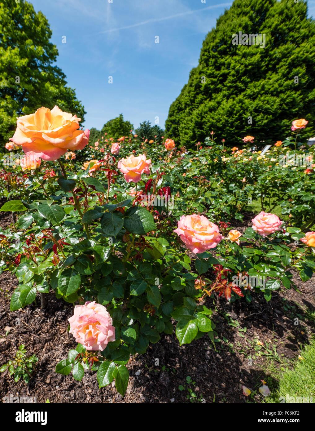 Rose Garden Regents Park Stock Photos & Rose Garden