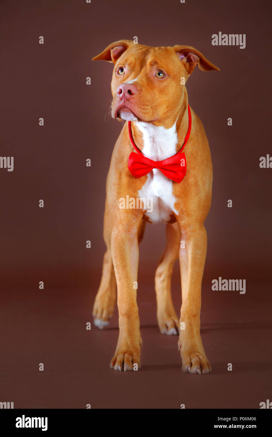 pitbull with a red bowtie redy for party - Stock Image