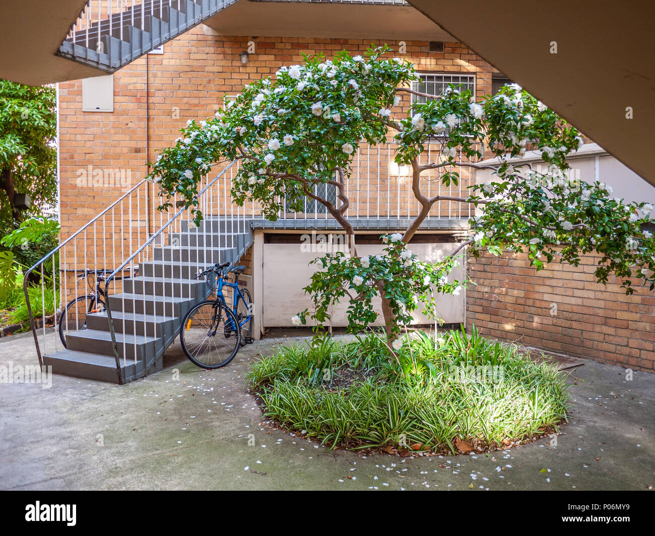 blooming camellia tree growing in small courtyard of old apartments building  north melbourne