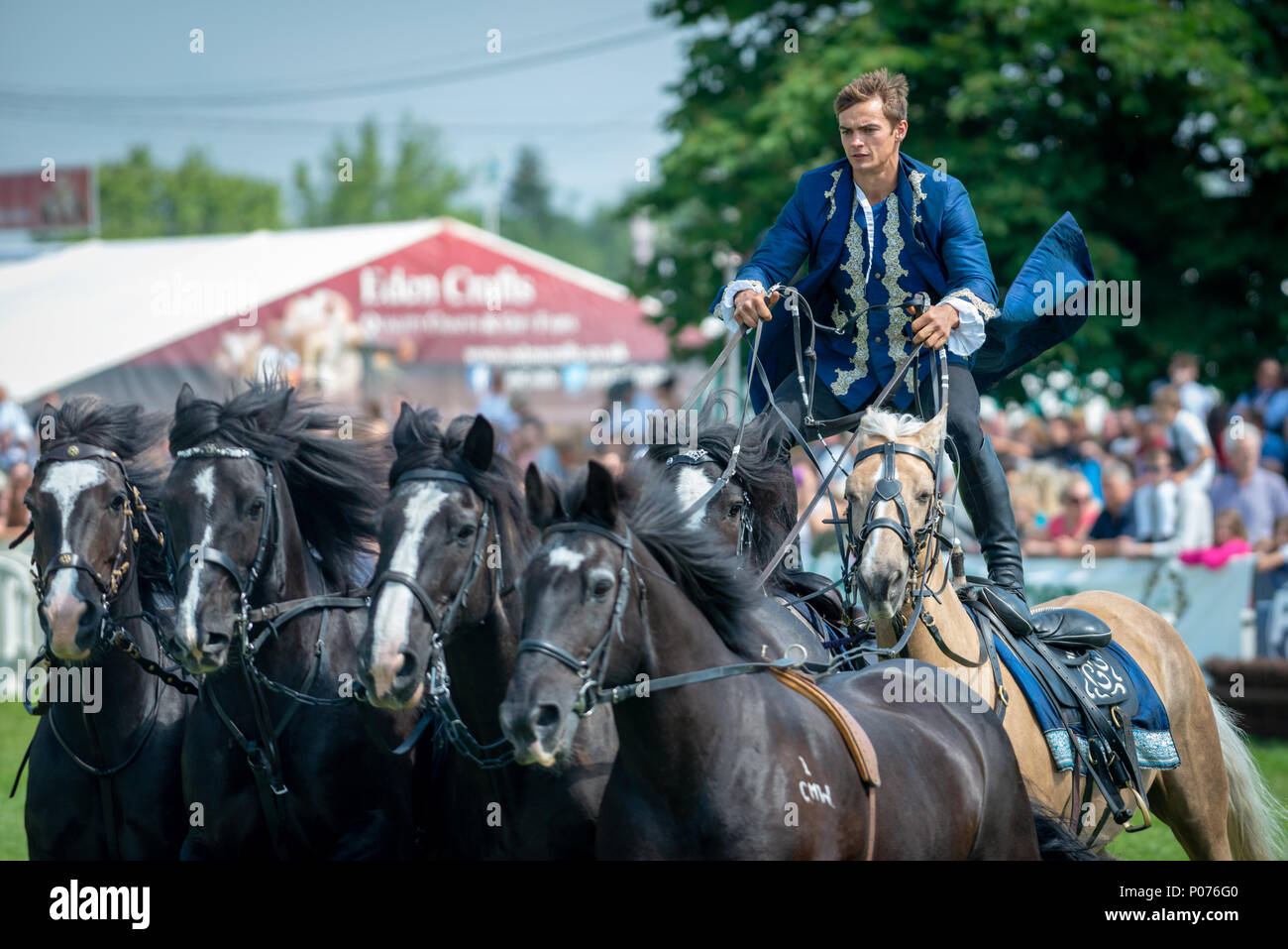 A rider from the Atkinson Action Horses stands on the back of two horses and controls four more horses while they gallop around the showground thrilling the crowd at the South Of England Show in Ardingly, Sussex, UK. - Stock Image
