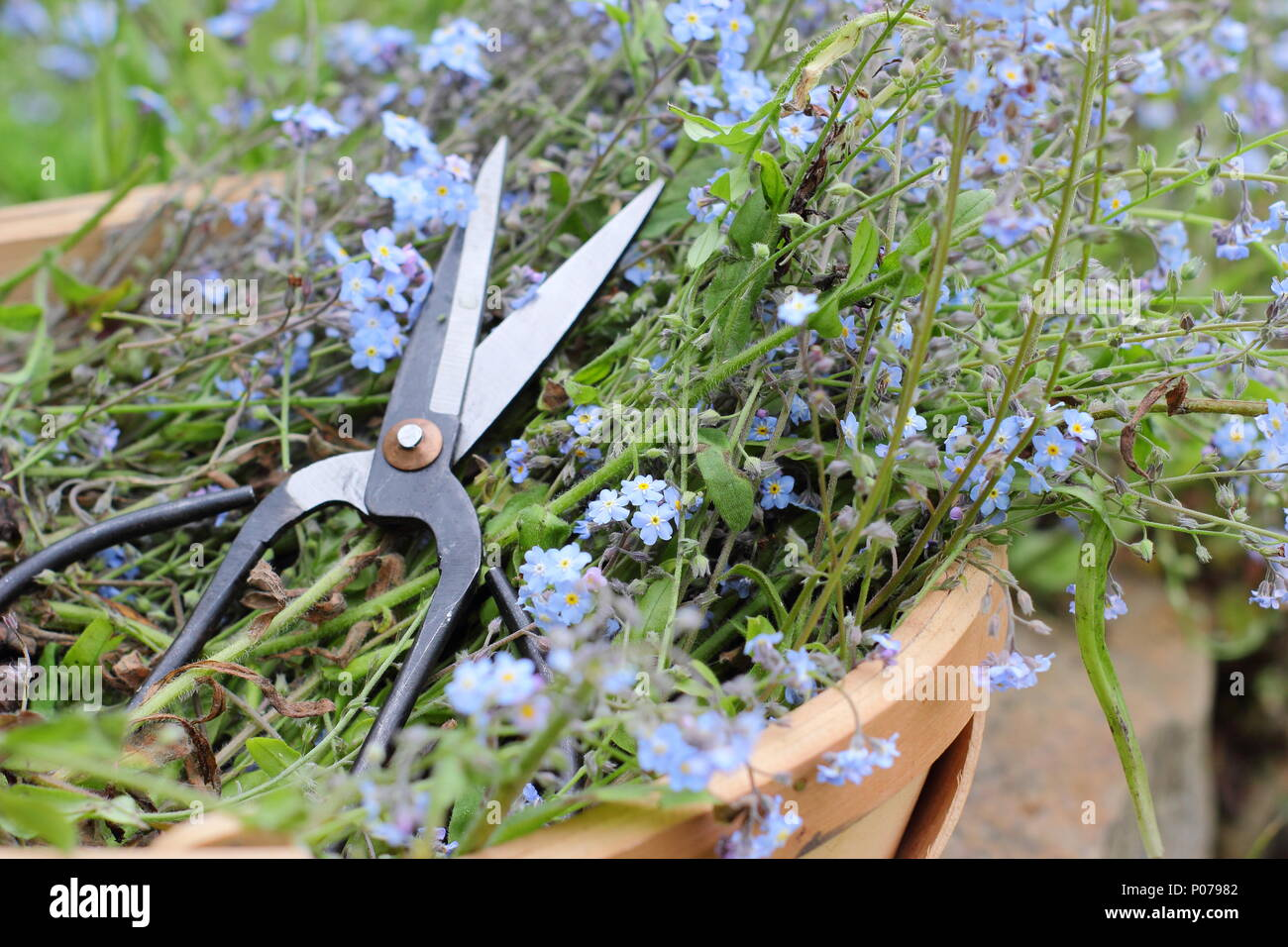 Myosotis. Clearing forget me not flowers (Myosotis), from the border of an English garden into a trug in late spring, UK - Stock Image