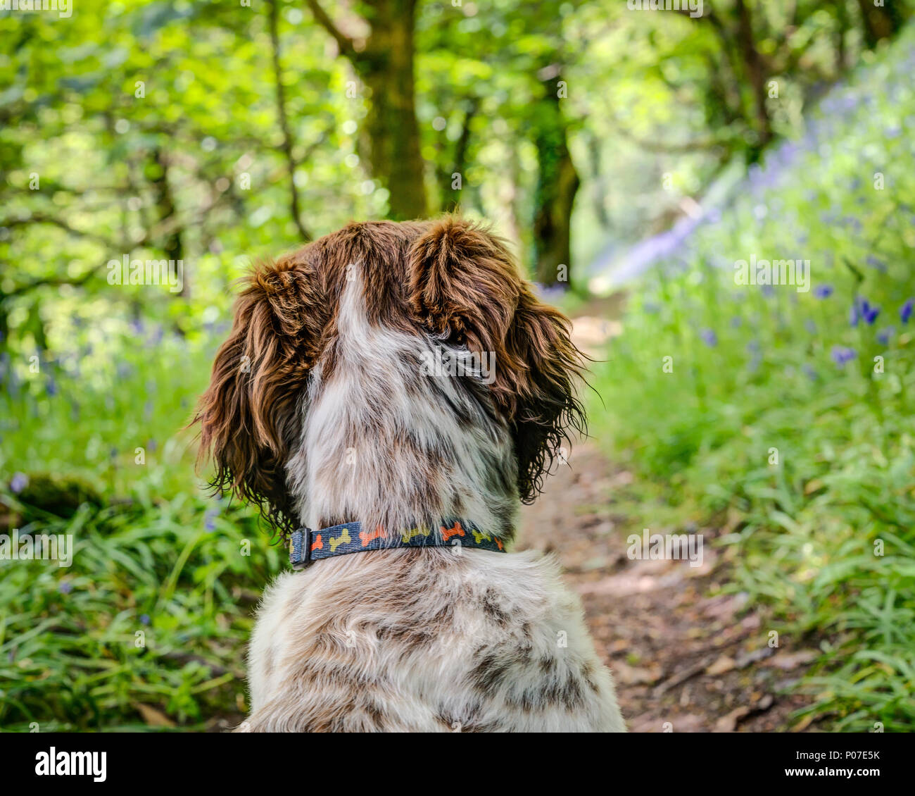 A female puppy, liver brown and white cross breed Sprocker Spaniel, Ruby is studying the bluebell wood and the magic of the forest that lies ahead. - Stock Image