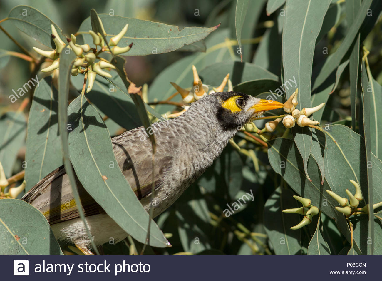 Noisy Miner (Manorina melanocephala) feeding from the bud of a Eucalyptus tree in Australia. - Stock Image
