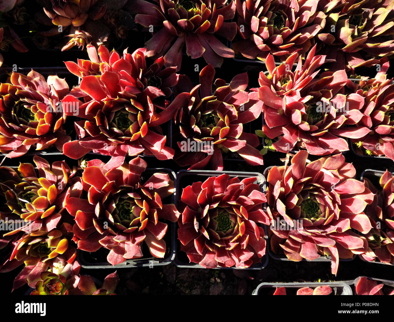 Red potted sempervivum succulents rosettes under summer sunlight from a high angle view Stock Photo