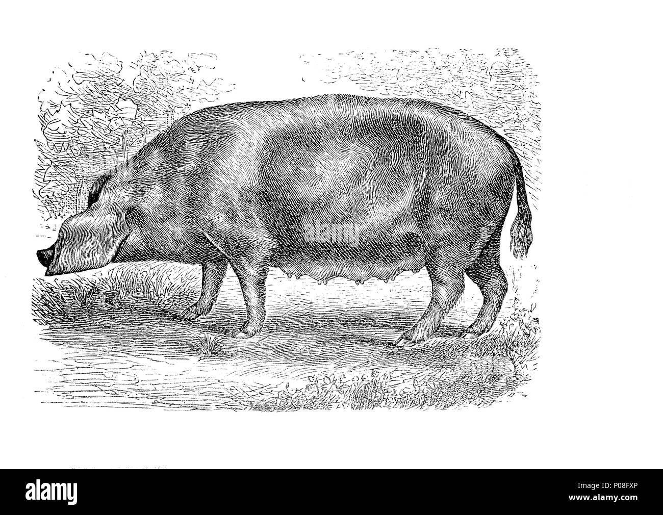 Marschschwein, Bentheim Black Pied, also known as Schwarz-Wesses or Buntes Bentheimer Schwein, is a rare breed of domestic pig in Germany., digital improved reproduction of an original print from the year 1881 - Stock Image