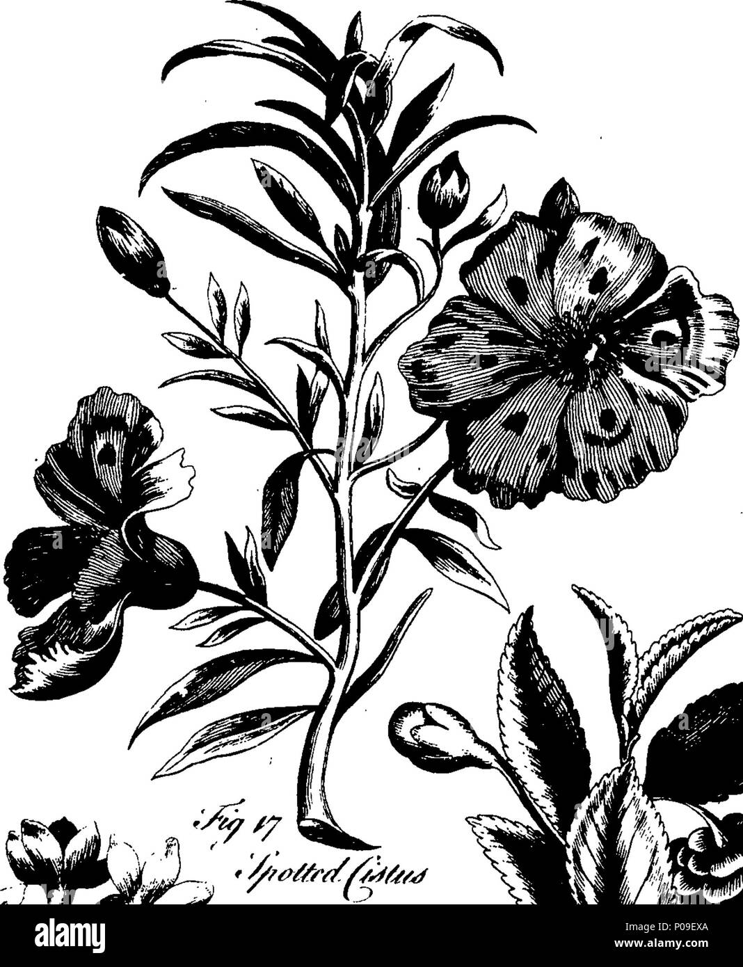 English: Fleuron from book: A new gardener\'s dictionary; or the ...