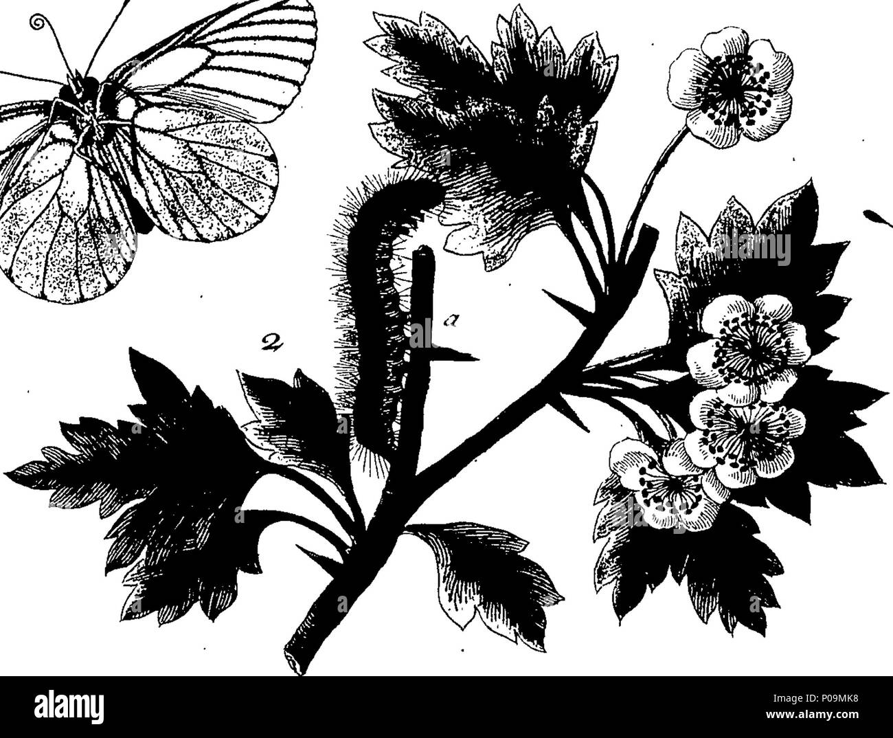 . English: Fleuron from book: A natural history of English insects. Illustrated with a hundred copper plates, Curiously Engraven from the Life: and (for those who desire it) exactly coloured by the author Eleazar Albin, Painter. 136 A natural history of English insects Fleuron T085973-7 - Stock Image