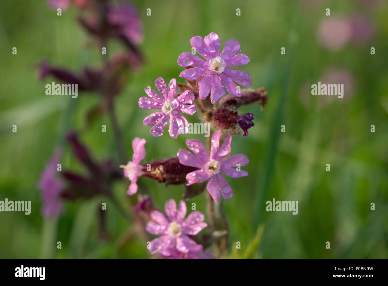 Red campion (Silene dioica) flowers. Stock Photo