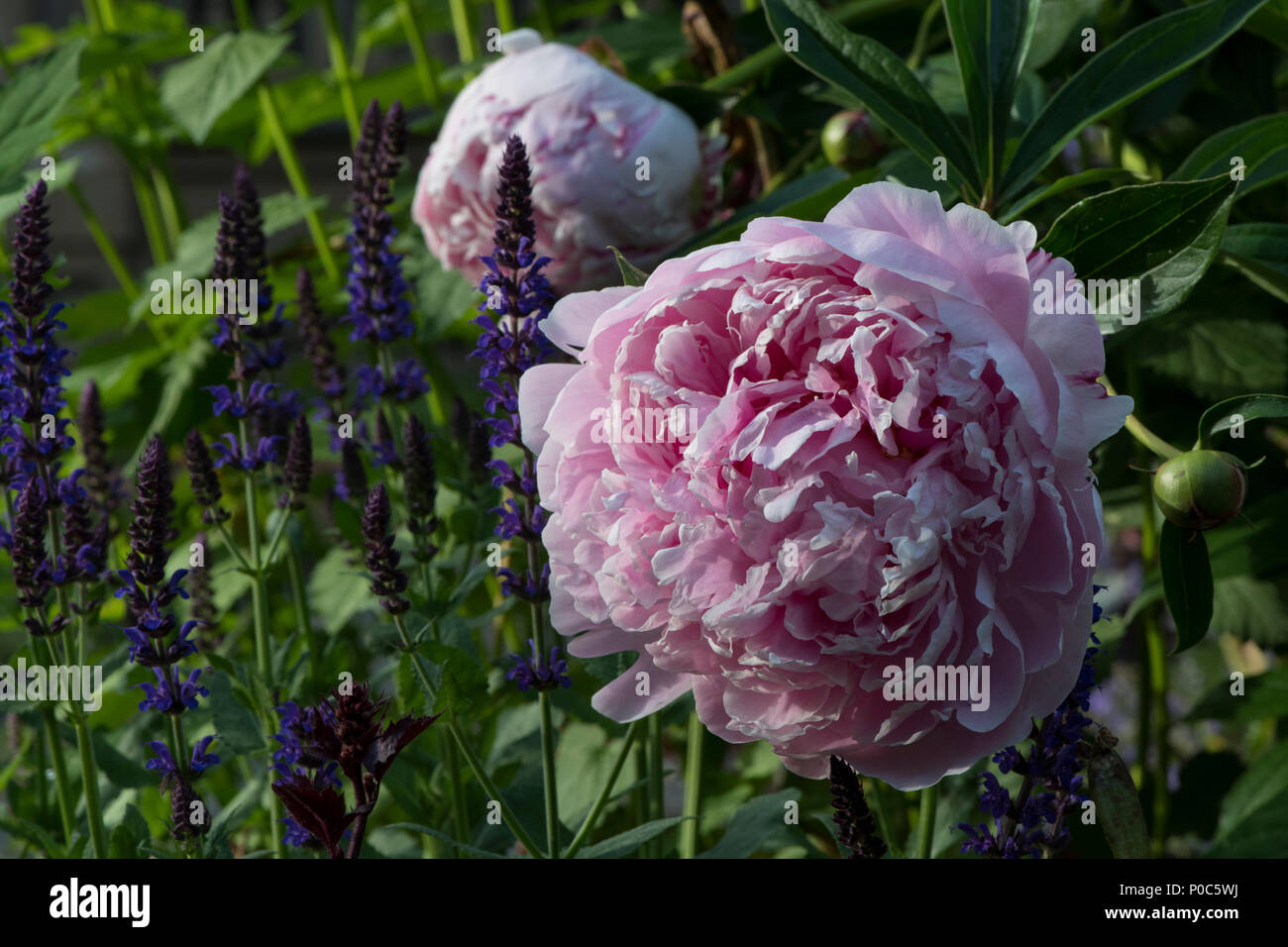 Pink Peony Flower Side View Stock Photos Pink Peony Flower Side