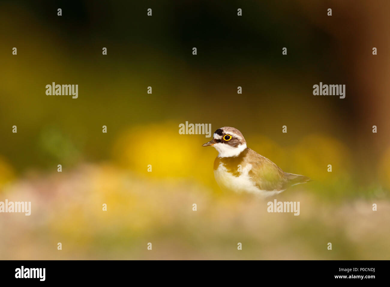 Little ringed plover (Charadrius dubius), Middle Elbe Biosphere Reserve, Saxony-Anhalt, Germany - Stock Image