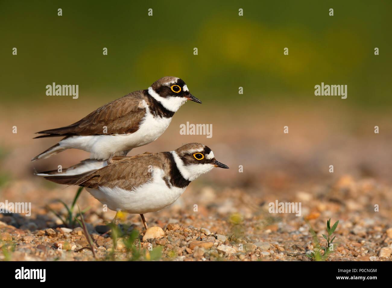 Little ringed plovers (Charadrius dubius), mating animal couple, Middle Elbe Biosphere Reserve, Dessau-Roßlau, Saxony-Anhalt - Stock Image