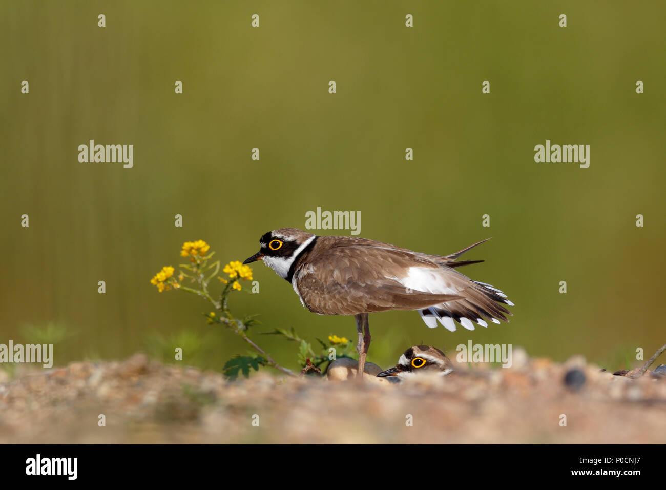 Little ringed plover (Charadrius dubius), courtship couple at the nesting hole, courtship ritual at the nest - Stock Image