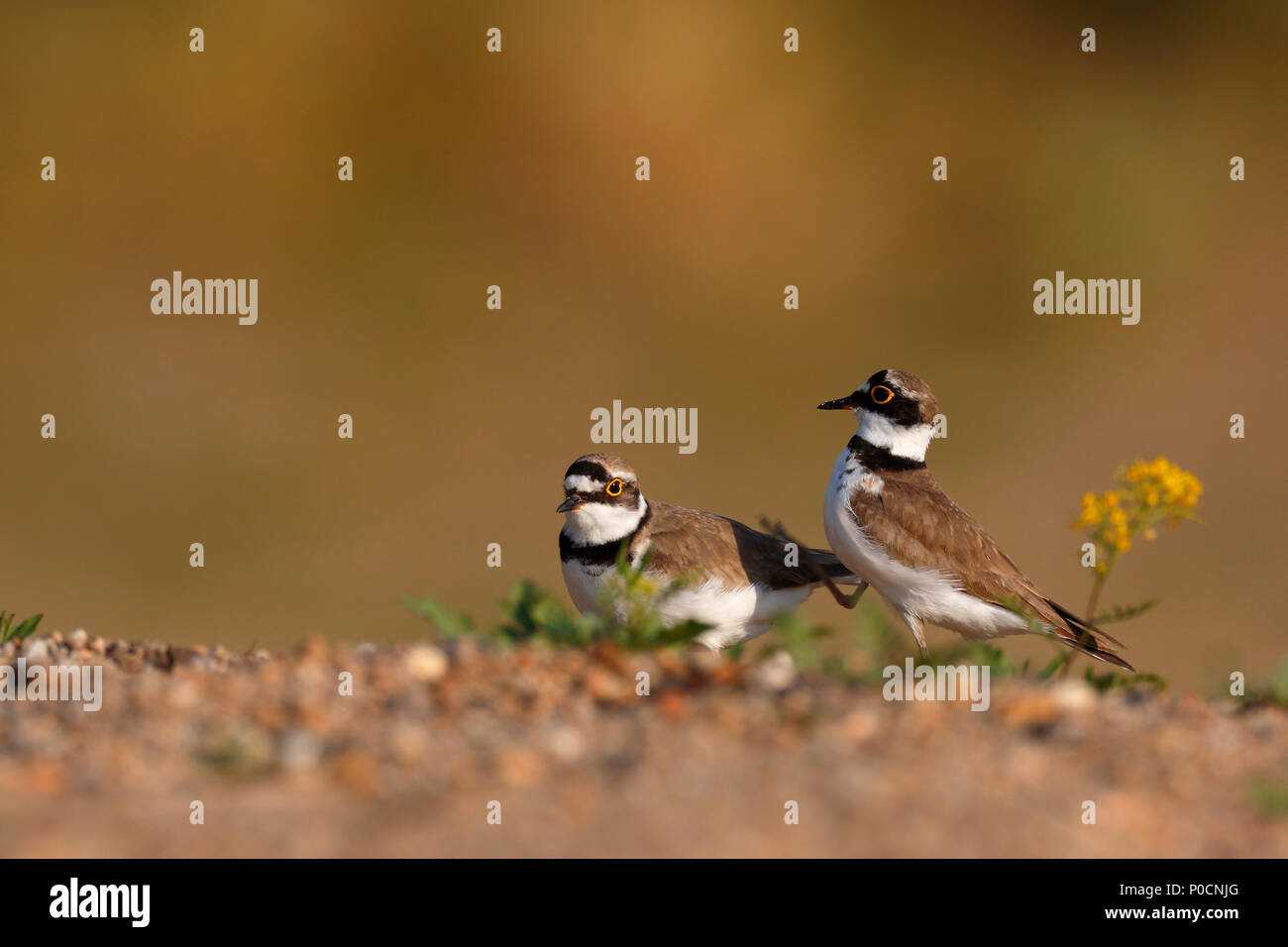 Little ringed plovers (Charadrius dubius), courtshiping animal couple, Middle Elbe Biosphere Reserve, Dessau-Roßlau - Stock Image