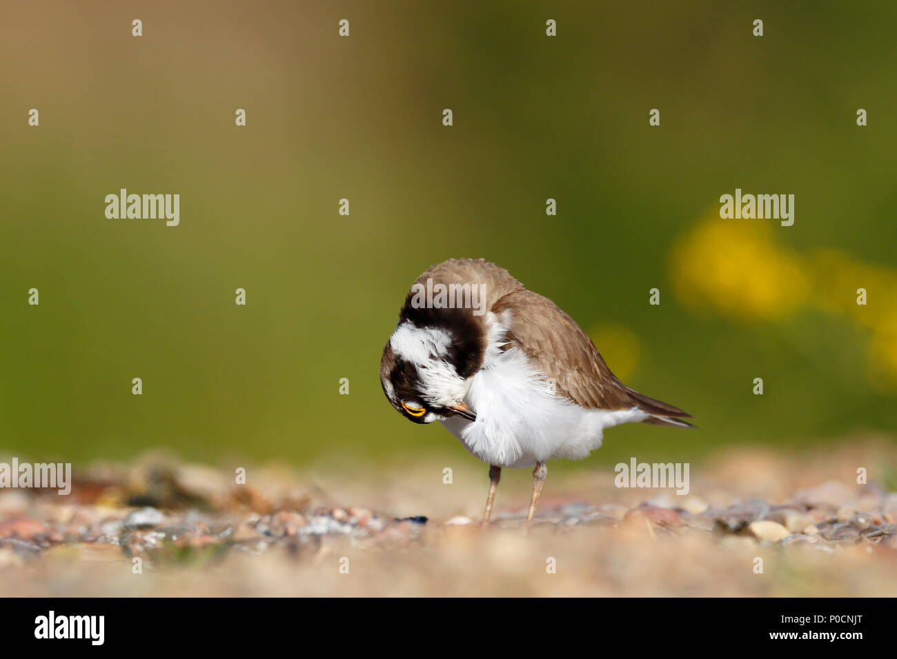 Little ringed plover (Charadrius dubius), plumage care, Middle Elbe Biosphere Reserve, Dessau-Roßlau, Saxony-Anhalt, Germany - Stock Image