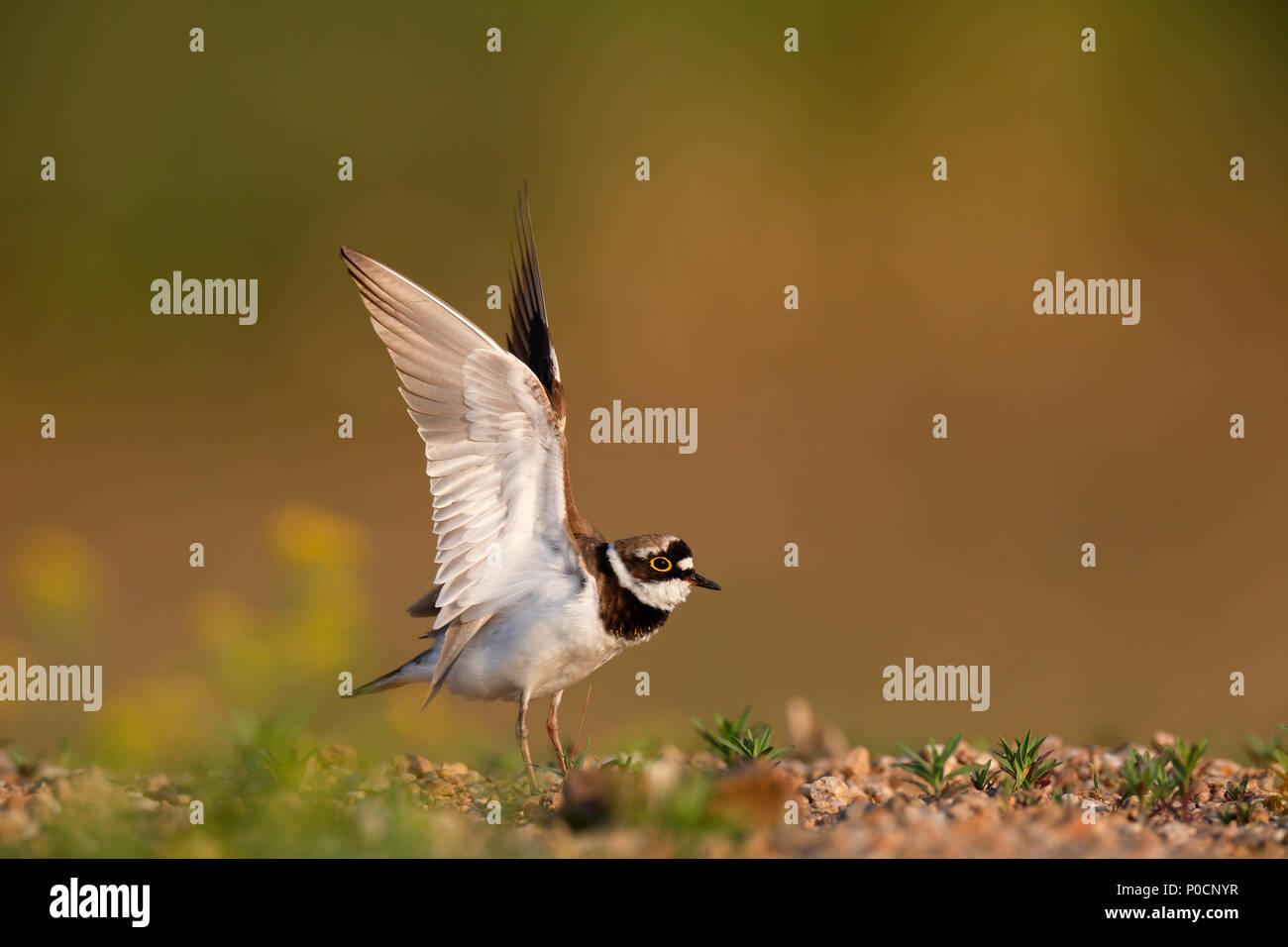 Little ringed plover (Charadrius dubius), landing on the gravel bank, Biosphere Reserve Middle Elbe, Dessau-Roßlau - Stock Image