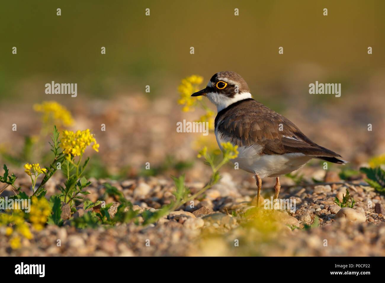 Little ringed plover (Charadrius dubius) on a gravel bank, Middle Elbe Biosphere Reserve, Saxony-Anhalt, Germany - Stock Image
