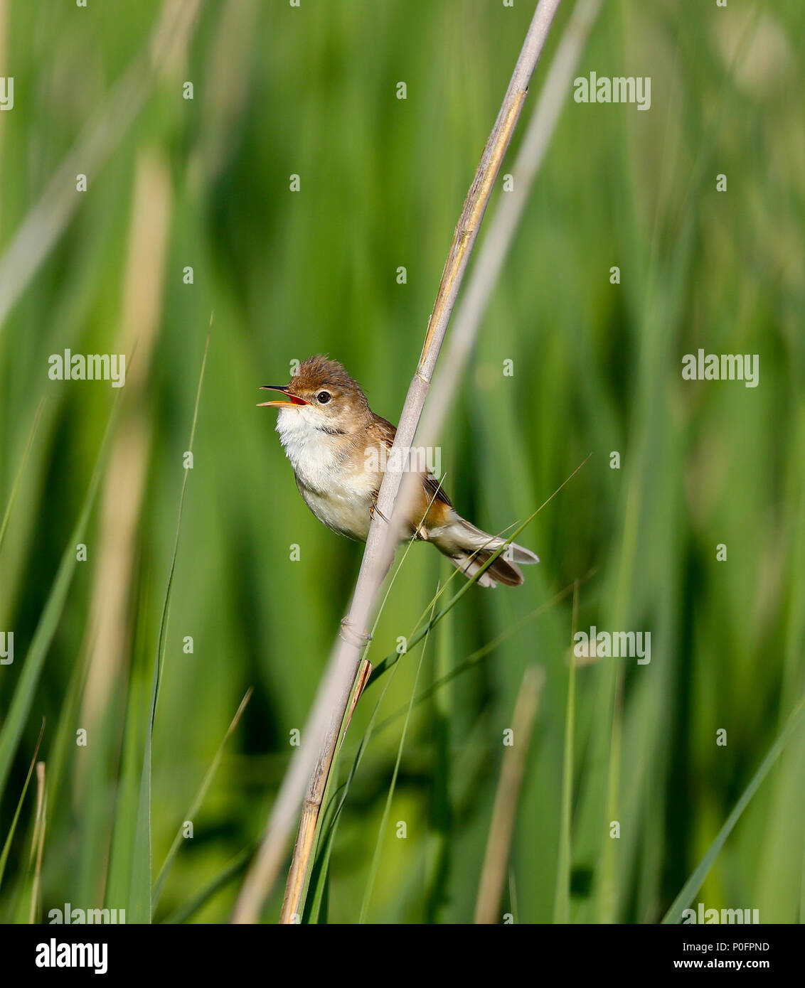 Reed Warbler (Acrocephalus scirpaceus) - Stock Image