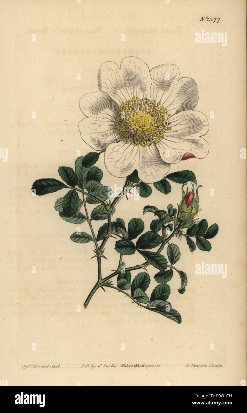 Macartney's rose, Rosa bracteata. Handcoloured copperplate engraving by F. Sansom after an illustration by Sydenham Edwards from William Curtis' The Botanical Magazine, London, 1811. - Stock Image