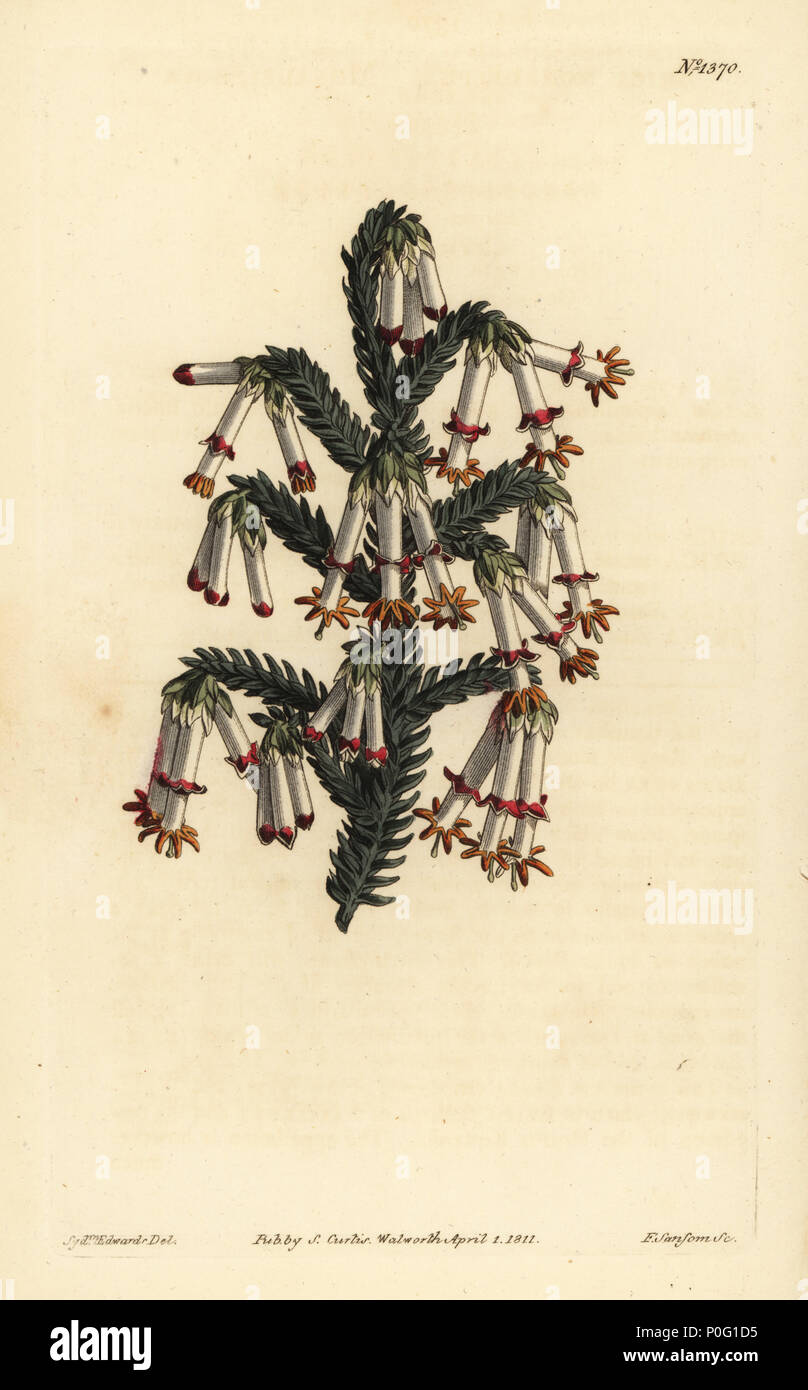 Monadelphous heath, Erica monadelpha. Handcoloured copperplate engraving by F. Sansom after an illustration by Sydenham Edwards from William Curtis' The Botanical Magazine, London, 1811. - Stock Image