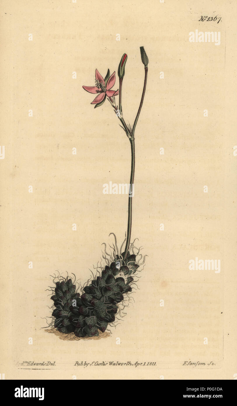 Thready anacampseros, Anacampseros filamentosa. Handcoloured copperplate engraving by F. Sansom after an illustration by Sydenham Edwards from William Curtis' The Botanical Magazine, London, 1811. - Stock Image