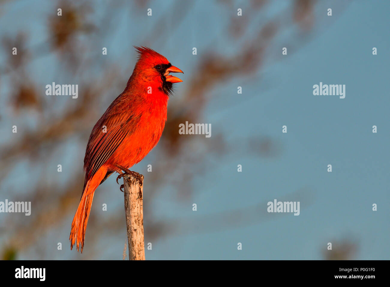 Northern cardinal is enjoying first light in the morning while broadcasting a message. - Stock Image