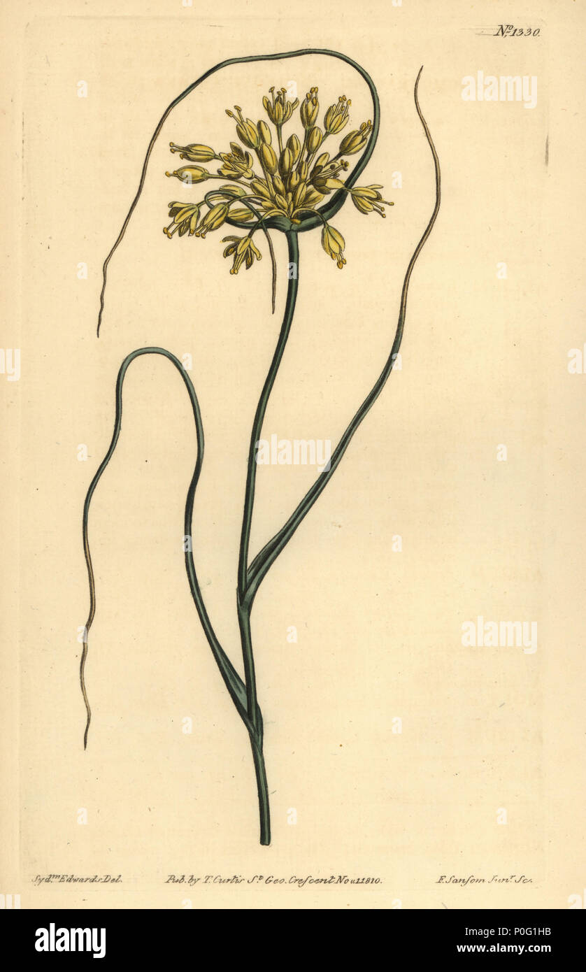 Yellow garlic, Allium flavum. Handcoloured copperplate engraving by F. Sansom after an illustration by Sydenham Edwards from William Curtis' The Botanical Magazine, London, 1810. - Stock Image