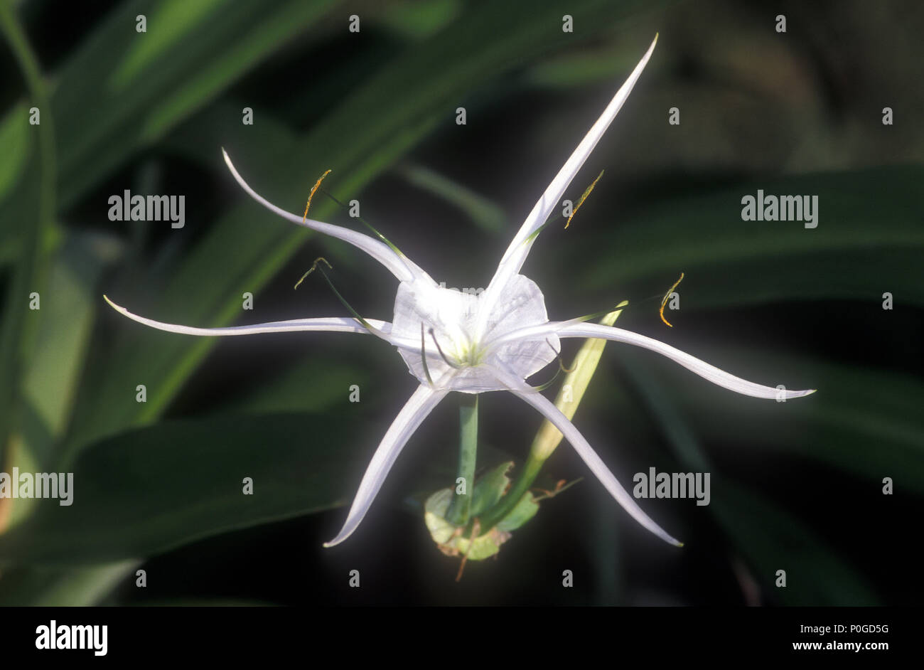 Hymenocallis littoralis common names spider flowers ismene hymenocallis littoralis common names spider flowers ismene spider lily filmy lily or basket flower izmirmasajfo