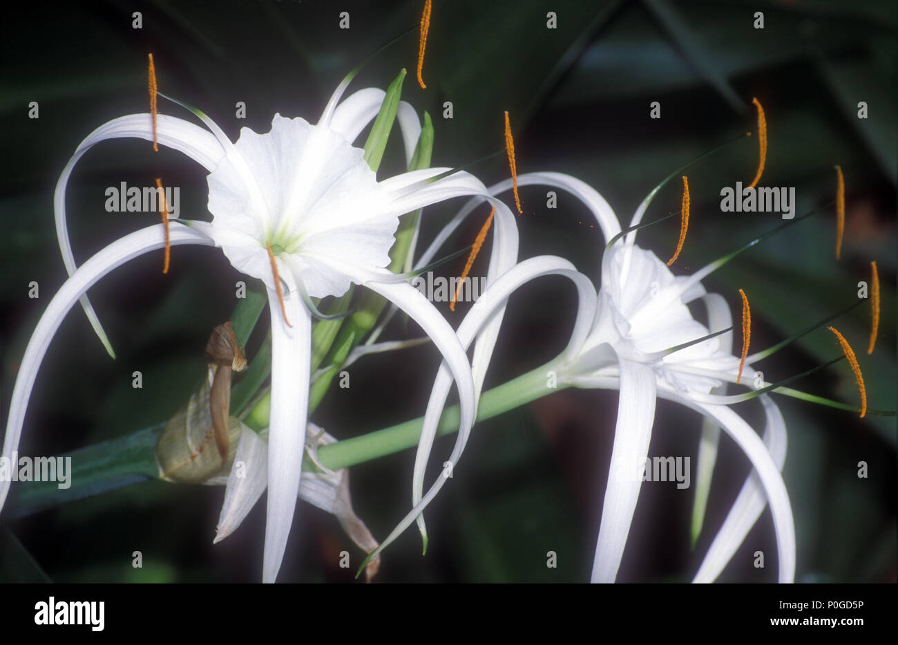 Names of lilies stock photos names of lilies stock images alamy hymenocallis littoralis common names spider flowers ismene spider lily filmy lily izmirmasajfo