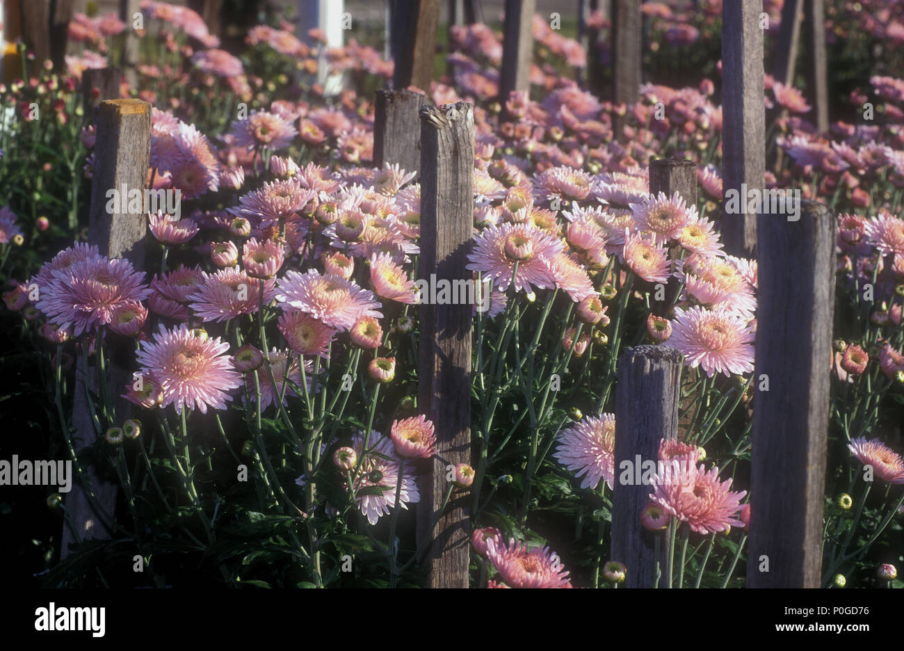PINK CHRYSANTHEMUMS GROWING SUPPORTED BY WOODEN GARDEN STAKES, NEW SOUTH  WALES, AUSTRALIA